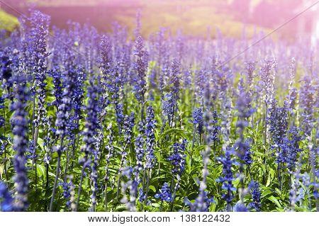 Lavender flowers at Wellington Botanic Garden the largest public park in capital city of New Zealand