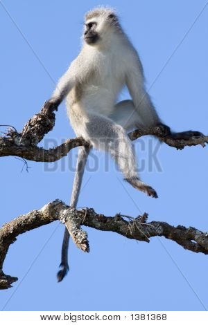A Vervet Monkeys Keeps Lookout While The Troop Feeds