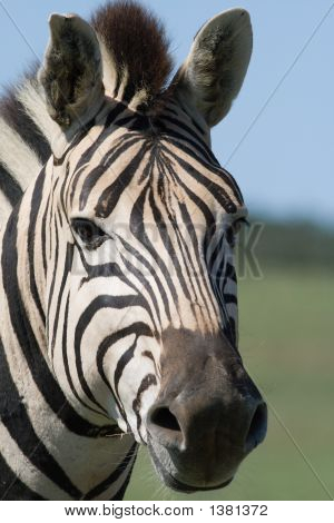 Portrait Of A Burchell'S Zebra (Equus Burchellii)
