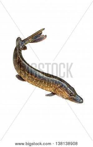 big pike isolated on white background in diagonal position