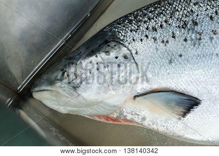 Head of raw fish. Fish lying in water. Raw salmon in metal sink. Fresh ingredient for sashimi.