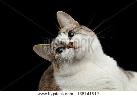 Closeup Portrait of Playful face White Cat, Red nose, Funny looks up Blue Eyes Isolated Black Background, Front view