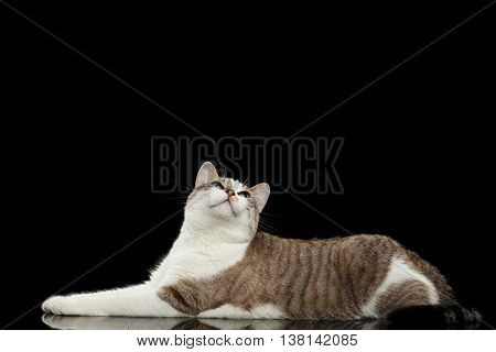 Long White Cat with Blue eyes, paws in front of him, Lying and with a satisfied face Curious Looking up, Isolated Black Background, Profile view