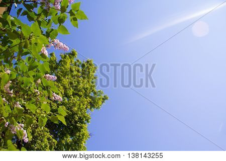 Sunny day beautiful lilac flowers on blue sky background