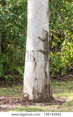 Goanna / lace monitor climbing eucalyptus tree in national park