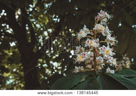 Flowering branches of blossoming white flowers chestnut tree. Film tonal effect incident light. Outdoors in park macro. Spring or summer nature concept image.