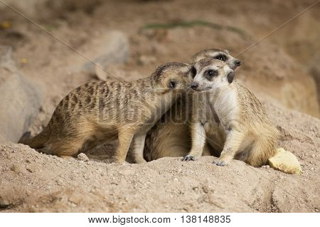 Three Meerkats sitting together and looking something