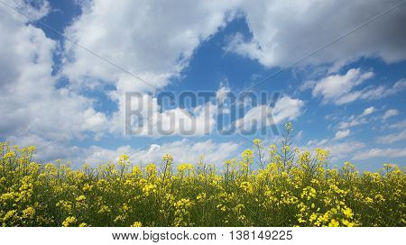 Canola Field, Ready For Harvest And Blue Cloudy Sky