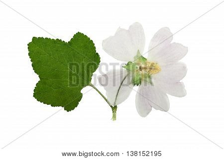 Pressed and dried flower mallow (malva) with green carved leaf. Isolated on white background. For use in scrapbooking floristry (oshibana) or herbarium.