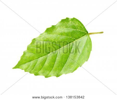 Decorative green leaf, isolated on white