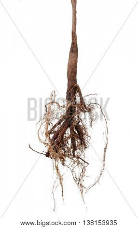 Tree root isolated on white