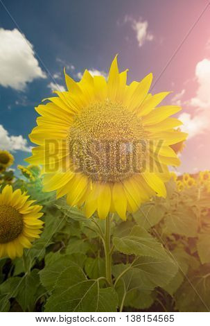 Sunflower and the blue sky with clouds and flare
