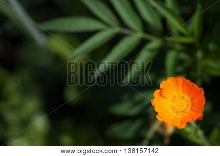 Single Big Calendula Flower In Garden, Top View
