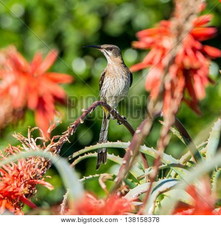 A male Cape Sugarbird perches on a red aloe plant in Southern Africa