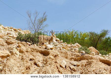 One nubian ibex (Capra nubiana) a desert-dwelling goat