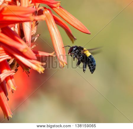 A female Carpenter Bee hovers by a red aloe flower in Southern Africa