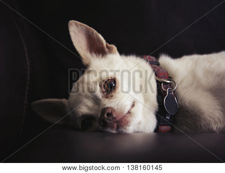 a cute chihuahua on a couch in natural sunlight with shallow depth of field