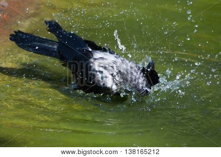 Corvus cornix bathed in warm water in the summer.