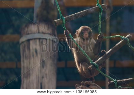 Baby monkey has fun in the zoo cage behind the glass.
