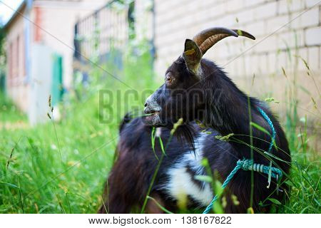 Grazing goat chewing on the grass and looking away