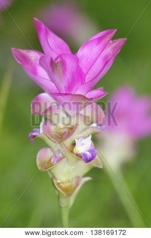Summer tulip in the garden nature Thailand