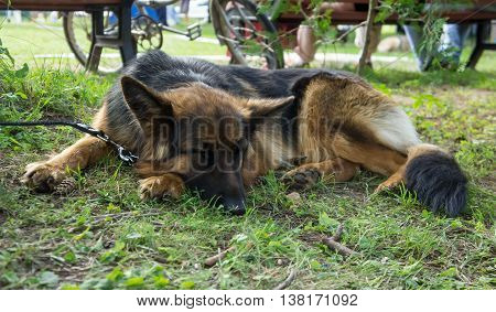 one dog breed long-haired german shepherd with a collar lie on green grass in the park, portrait, on a background people on a bench sit