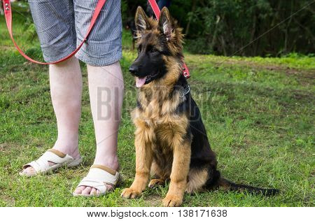 one german shepherd puppy sitting at the feet of a person on a red leash