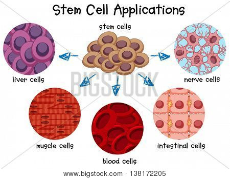 Diagram of different stem cells illustration