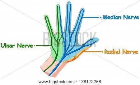 Diagram showing hand nerve illustration