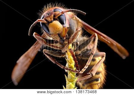 Macro shot of hornet or yellow jacket.