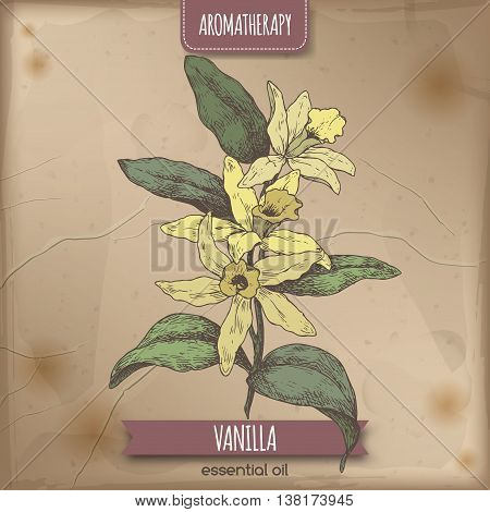 Vanilla planifolia aka Vanilla color sketch on vintage paper background. Aromatherapy series. Great for traditional medicine, perfume design, cooking or gardening.