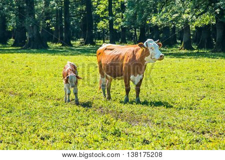 White and brown cow and calf on the meadow