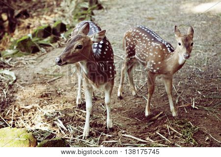 two pretty baby deer in natural background