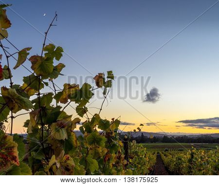 Vibrant autumn vineyard leaves at sunset in Napa Valley California. Looking down a grapevine row with moon rising. Close up of colorful leaves in wine country. Blue, yellow sky at dusk.
