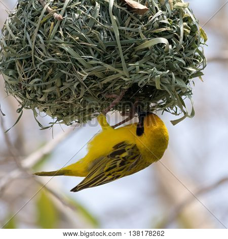 Yellow Masked Weaver Bird Building Nest