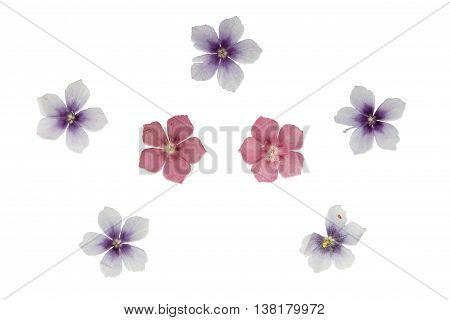 Set of pressed and dried flowers blue pink phlox isolated on white background. For use in scrapbooking floristry (oshibana) or herbarium.