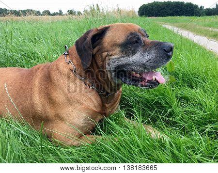 Boerboel, south african mastiff on a meadow