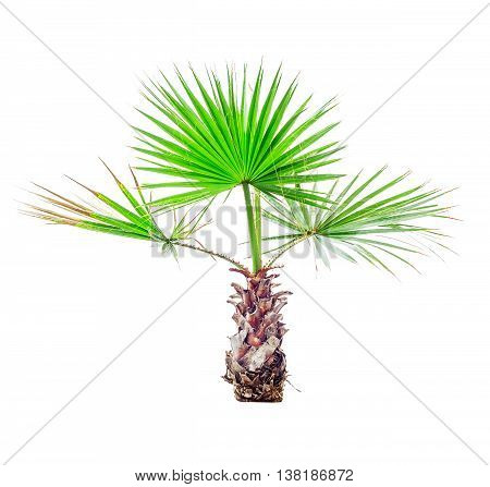 Small palm tree isolated on white background