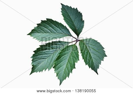 Green leaf of Virginia creeper (Parthenocissus quinquefolia). Isolated on a white background