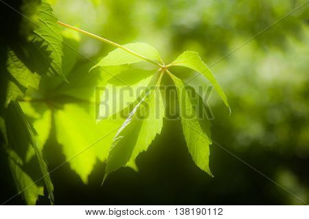 Green leaves of Virginia creeper (Parthenocissus quinquefolia) in sunlight (glow effect)