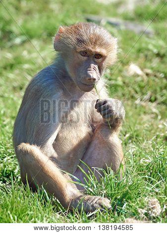 Hamadryas baboon (Papio hamadryas) sitting in grass in its habitat