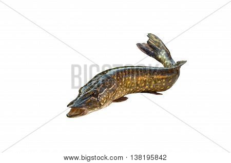 big pike isolated on white background, with open mouth