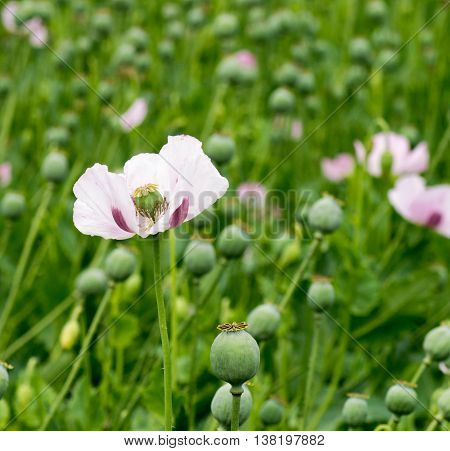 square shot of a Single Opium poppy Somniferum  Papaver, focus on the subject with a green field background