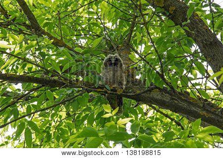 Little long eared owl sitting on a tree branch. Asio otus.