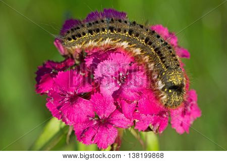 Fluffy spotted caterpillar crawling on a pink carnation flower.