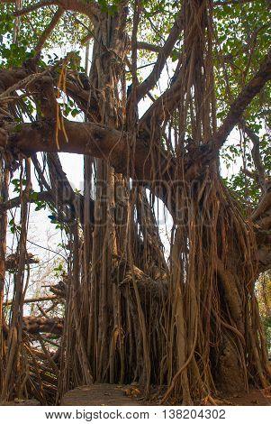 Big Beautiful Banyan Tree