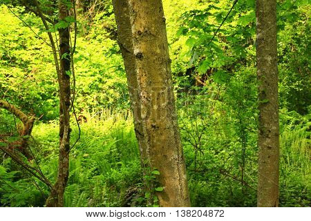 a picture of an exterior Pacific Northwest forest of Alder trees in summer