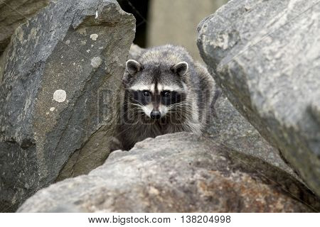Raccoon in the rocks at Westhaven Cove in Westport Washington.