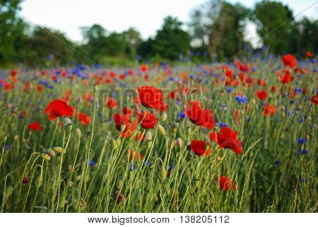 Poppies in a corn field with cornflowers and poppies