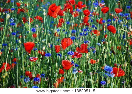 Mix of poppies and cornflowers in a field